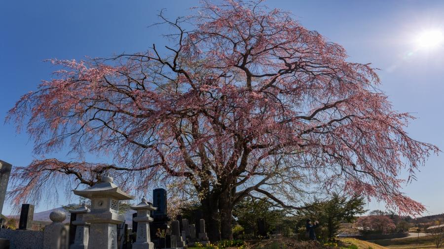 富士見町 枝垂れ桜